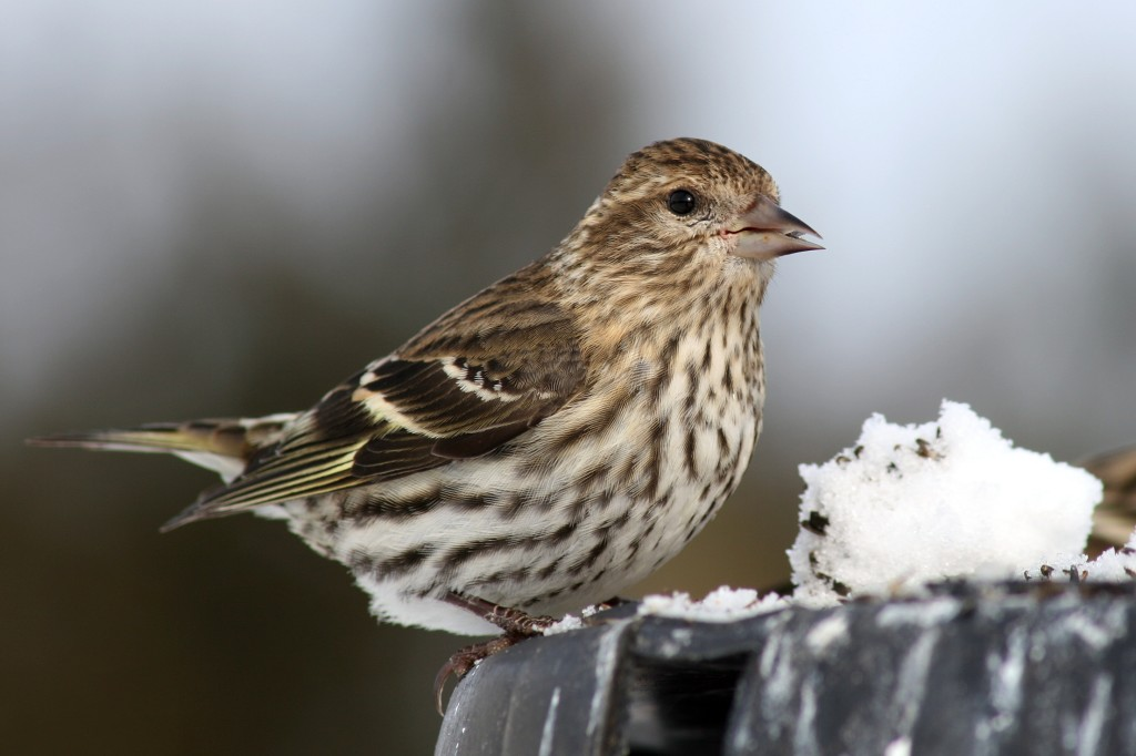 Female Pine Siskin photo courtesy of Darren Swim