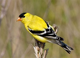 american_goldfinch_glamour12