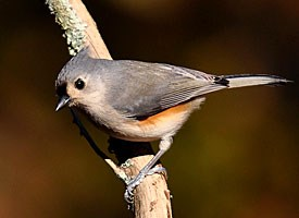 tufted_titmouse_glamour