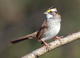 white_throated_sparrow_glamor